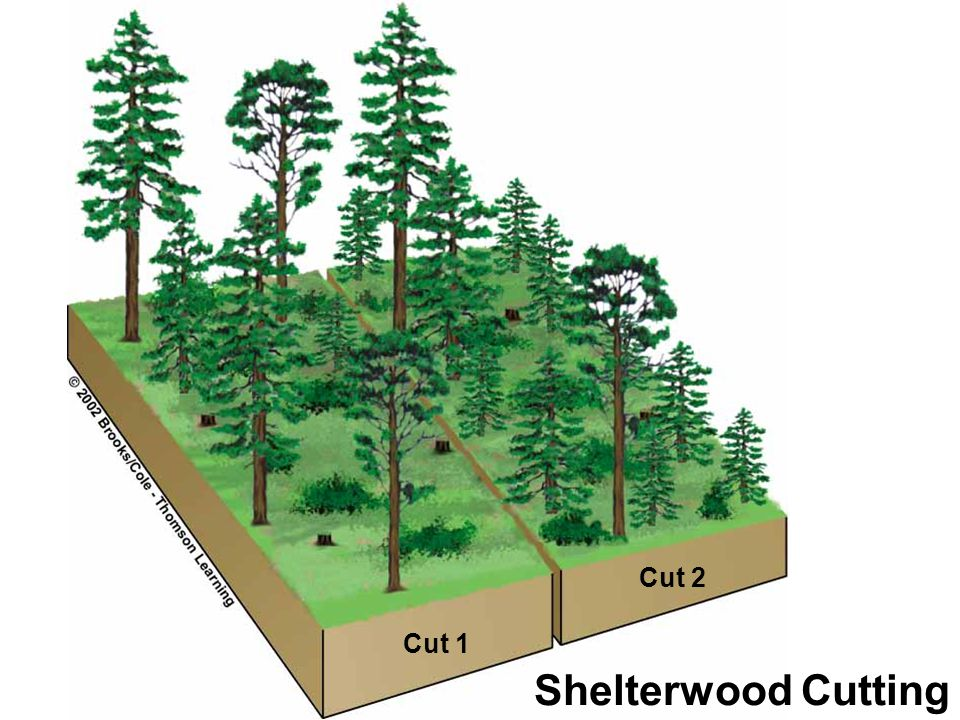 Cut 2 Cut 1 Shelterwood Cutting