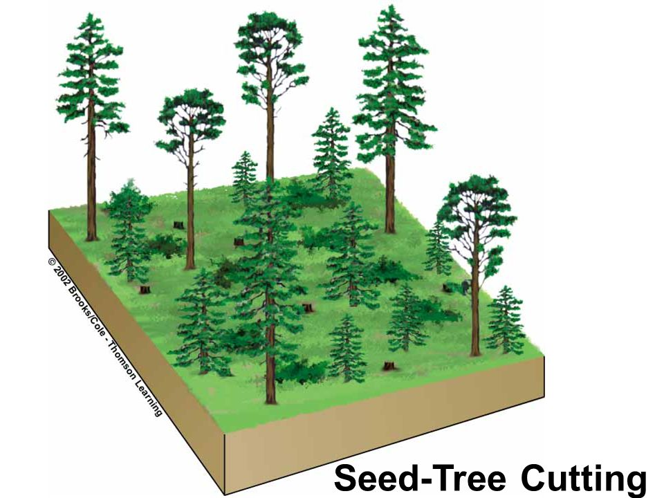 Seed-Tree Cutting