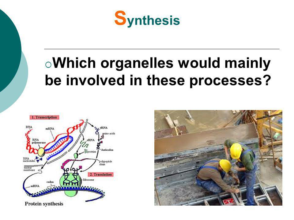 Synthesis Which organelles would mainly be involved in these processes