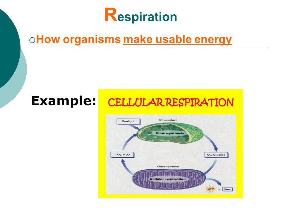 Respiration How organisms make usable energy Example: