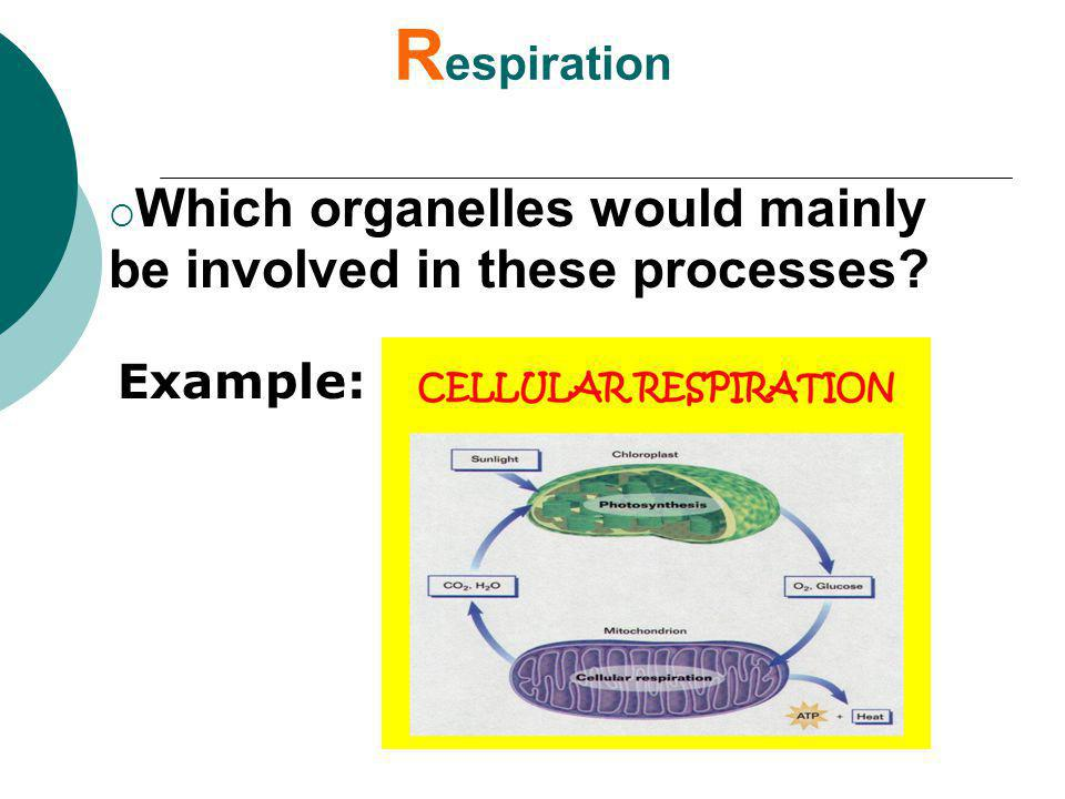 Respiration Which organelles would mainly be involved in these processes Example: