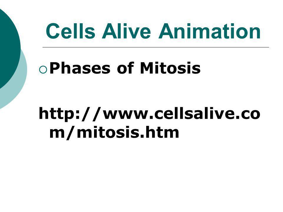 Cells Alive Animation Phases of Mitosis