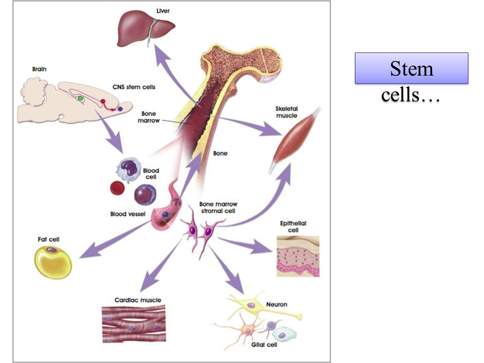 Stem cells…