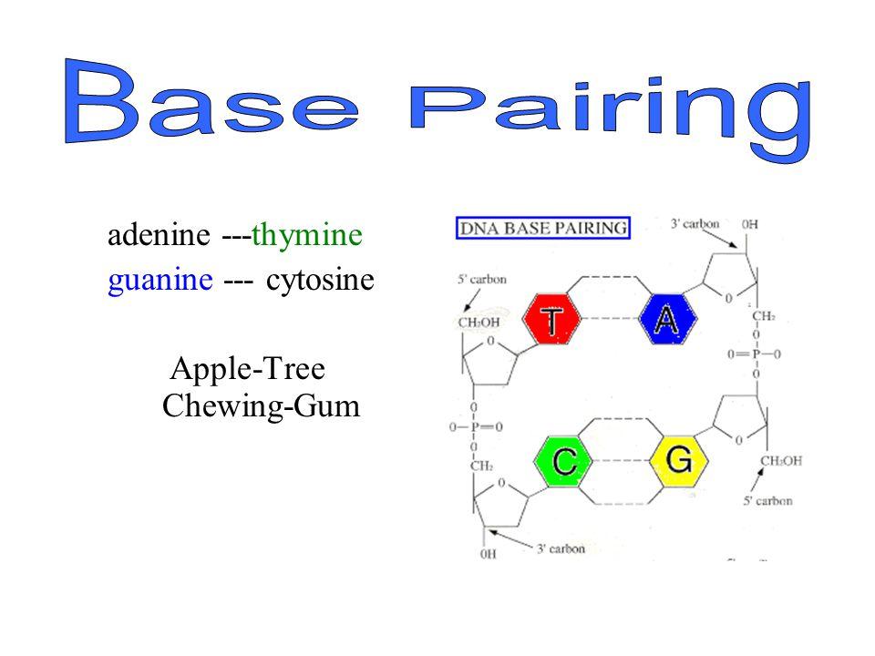 Base Pairing adenine ---thymine guanine --- cytosine