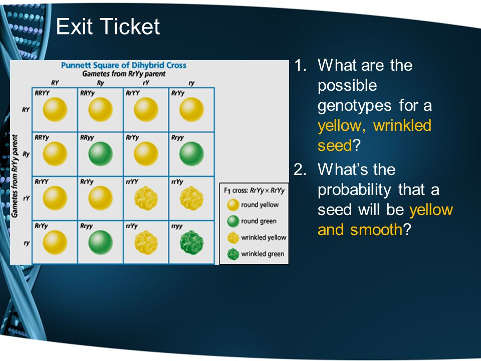 Exit Ticket What are the possible genotypes for a yellow, wrinkled seed.