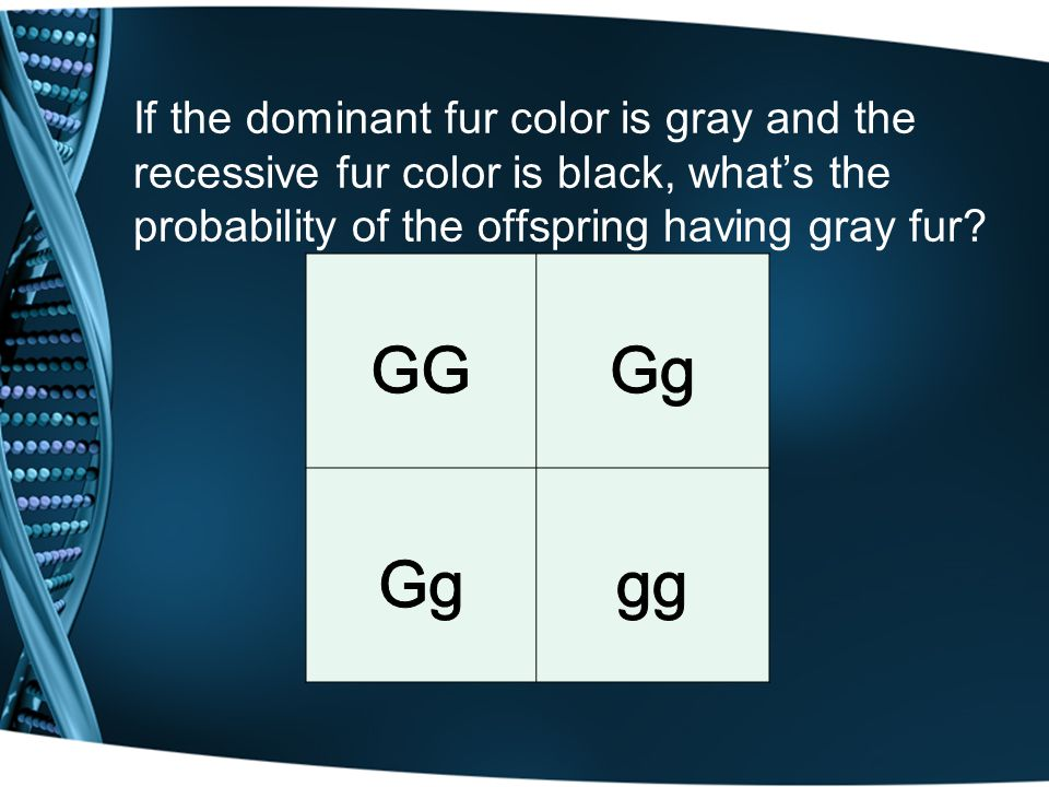 If the dominant fur color is gray and the recessive fur color is black, what's the probability of the offspring having gray fur