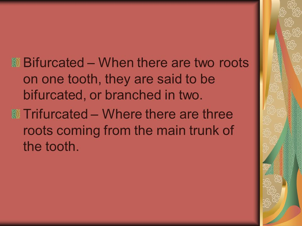 Bifurcated – When there are two roots on one tooth, they are said to be bifurcated, or branched in two.