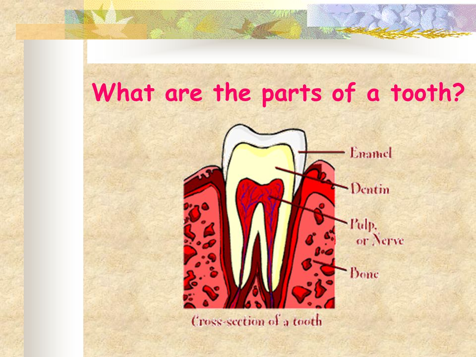 What are the parts of a tooth