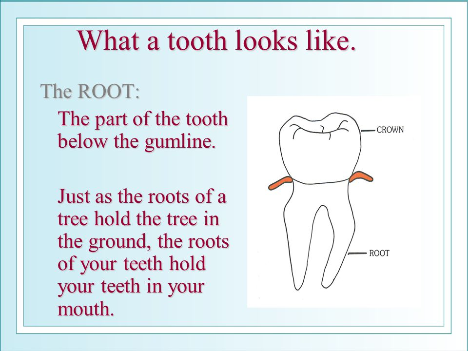 What a tooth looks like. The ROOT:
