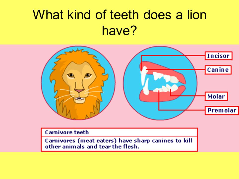 What kind of teeth does a lion have