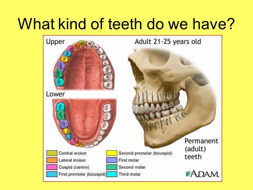 What kind of teeth do we have