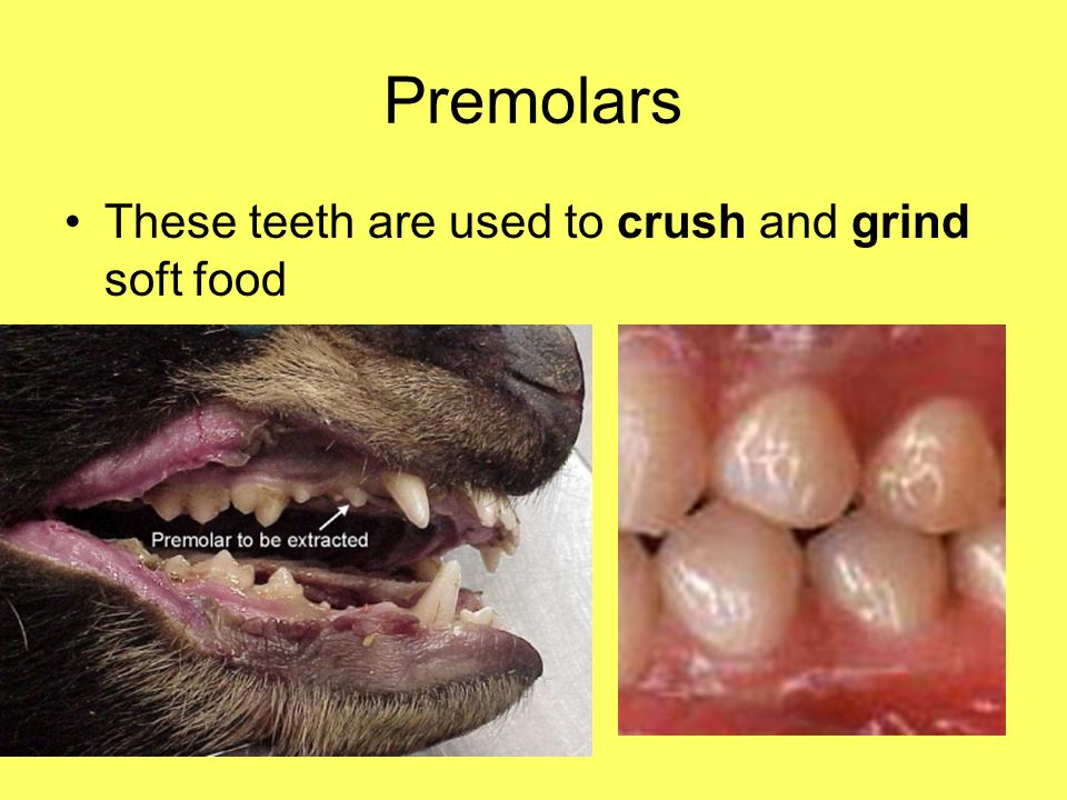 Premolars These teeth are used to crush and grind soft food