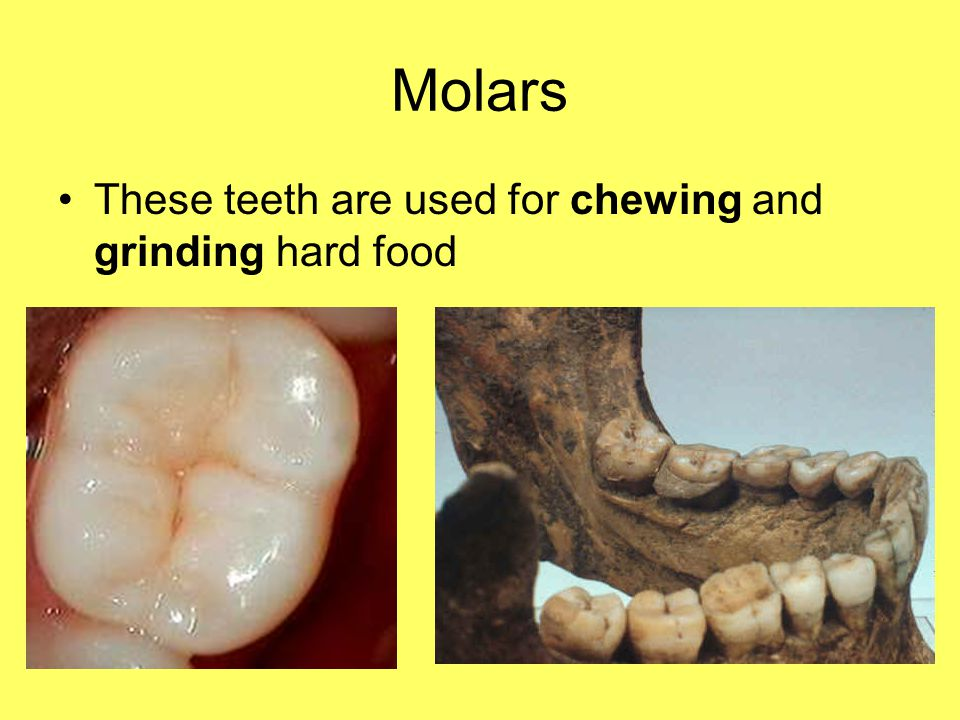 Molars These teeth are used for chewing and grinding hard food