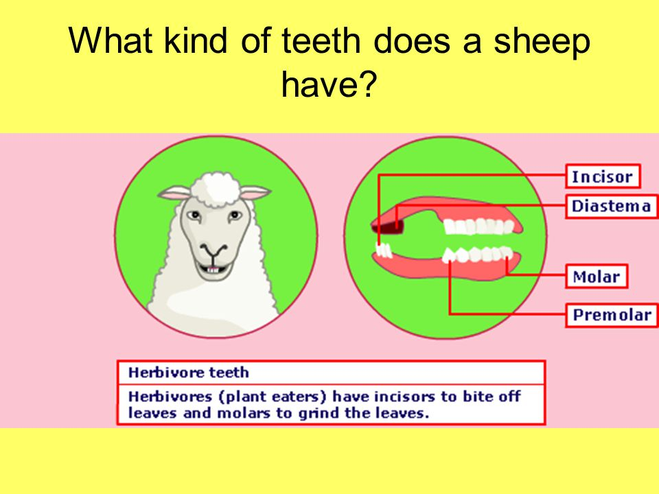 What kind of teeth does a sheep have