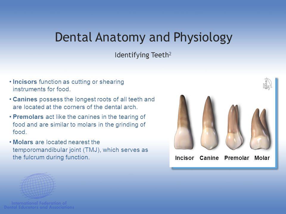 Dental Anatomy and Physiology
