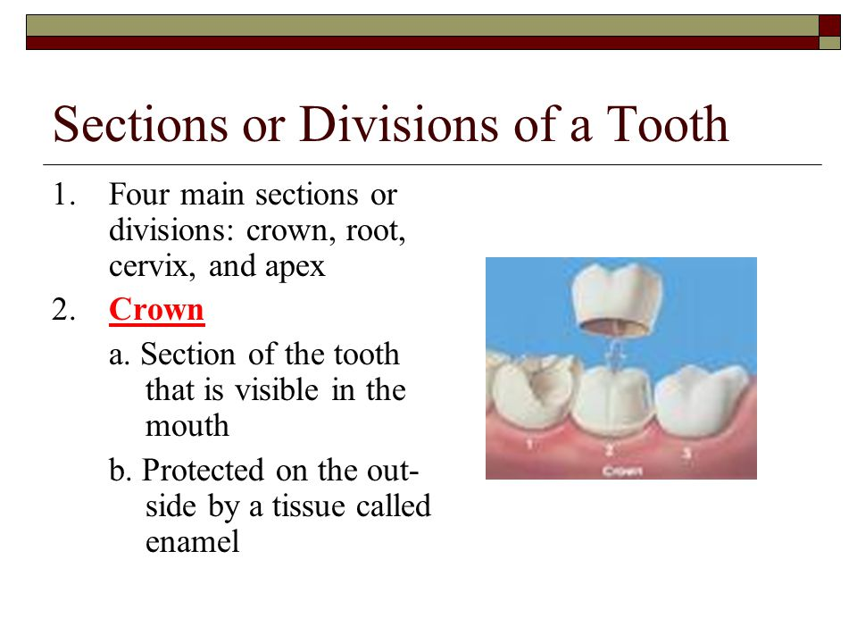 Sections or Divisions of a Tooth
