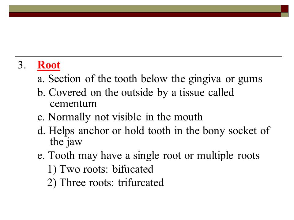 3. Root a. Section of the tooth below the gingiva or gums. b. Covered on the outside by a tissue called cementum.