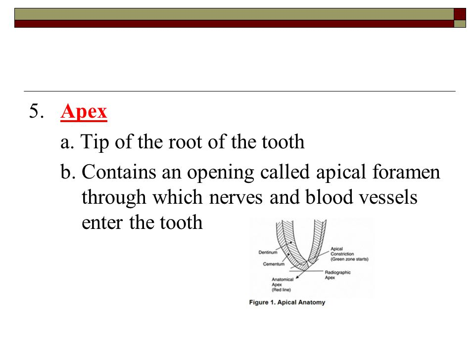 5. Apex a. Tip of the root of the tooth. b.
