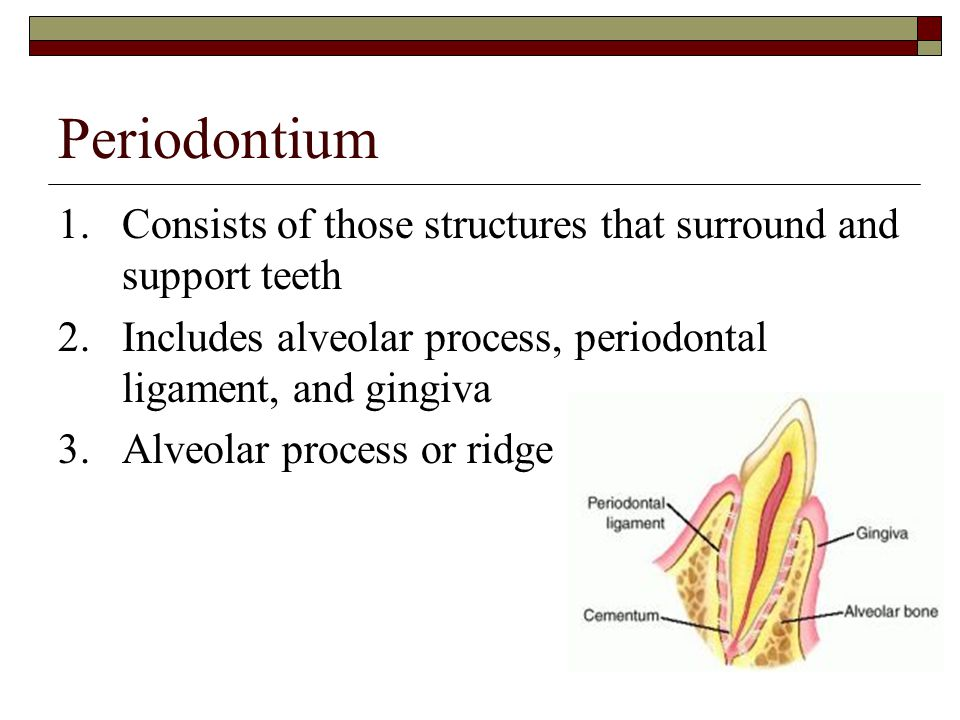 Periodontium 1. Consists of those structures that surround and support teeth. 2. Includes alveolar process, periodontal ligament, and gingiva.