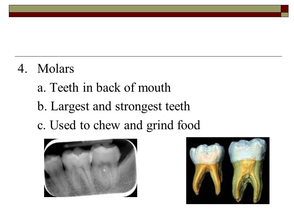 4. Molars a. Teeth in back of mouth b. Largest and strongest teeth c. Used to chew and grind food