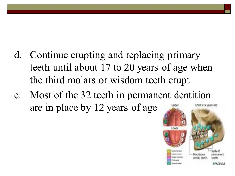 d. Continue erupting and replacing primary teeth until about 17 to 20 years of age when the third molars or wisdom teeth erupt
