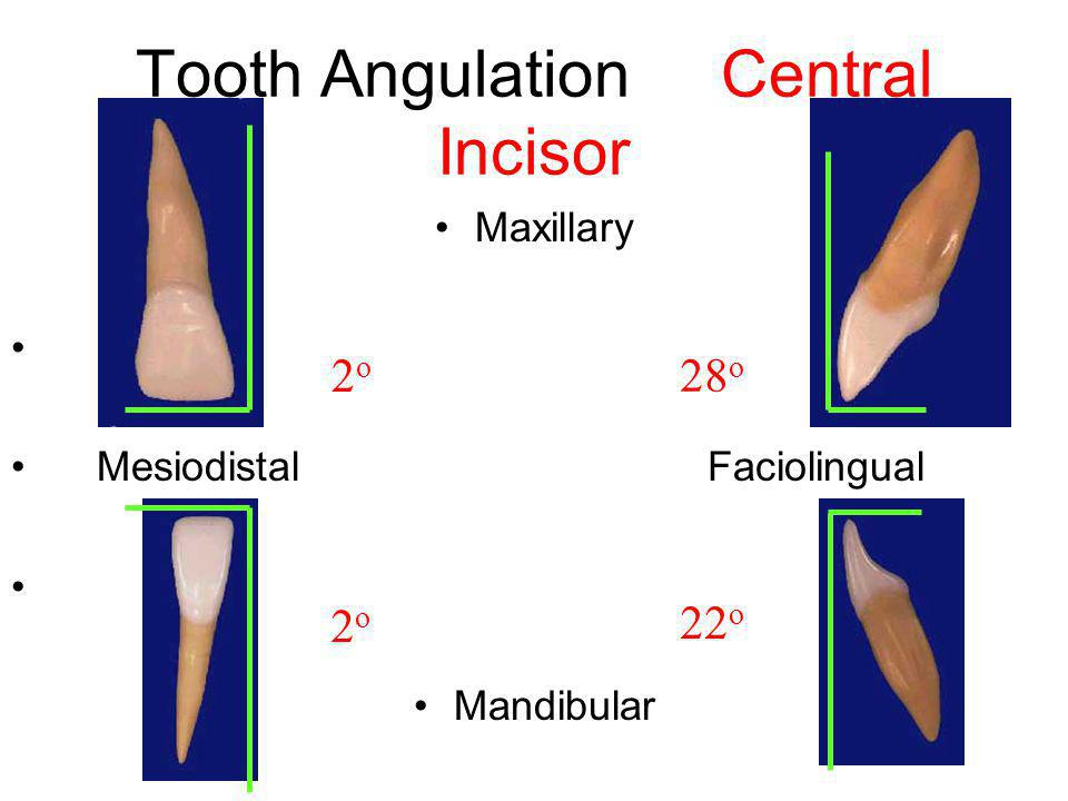 Tooth Angulation Central Incisor