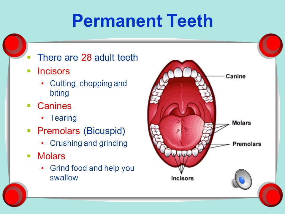 Permanent Teeth There are 28 adult teeth Incisors Canines