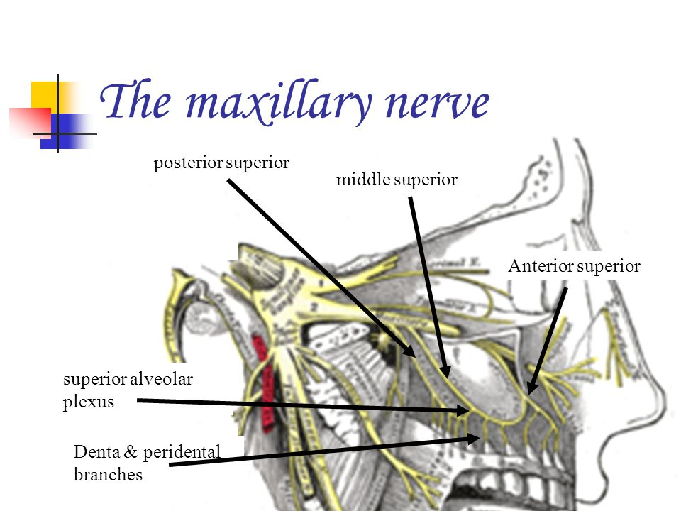 The maxillary nerve posterior superior middle superior