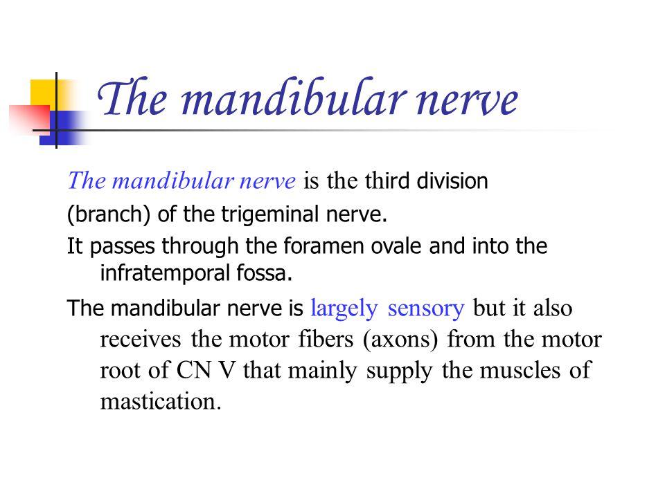 The mandibular nerve The mandibular nerve is the third division