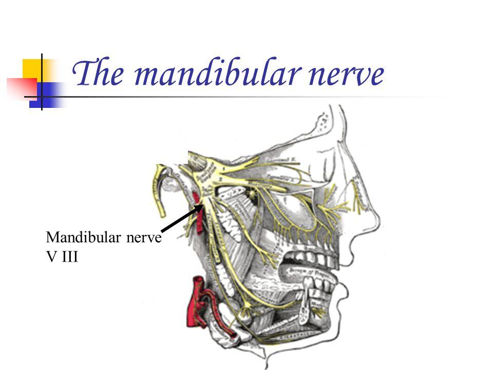 The mandibular nerve Mandibular nerve V III