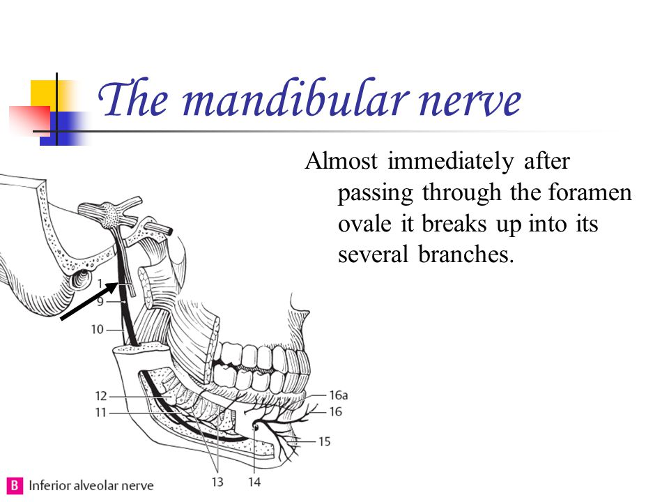 The mandibular nerve Almost immediately after passing through the foramen ovale it breaks up into its several branches.