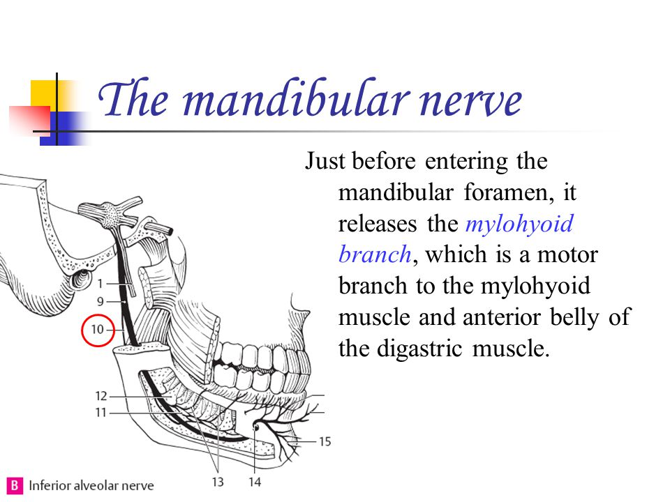 The mandibular nerve