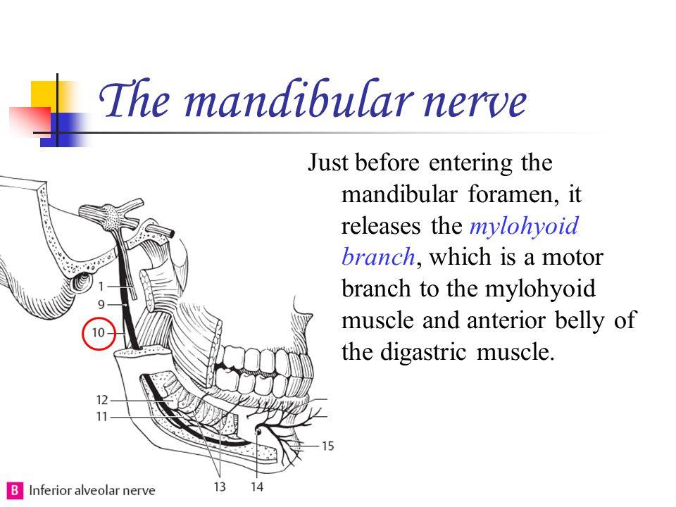 The mandibular nerve