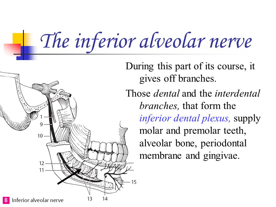 The inferior alveolar nerve