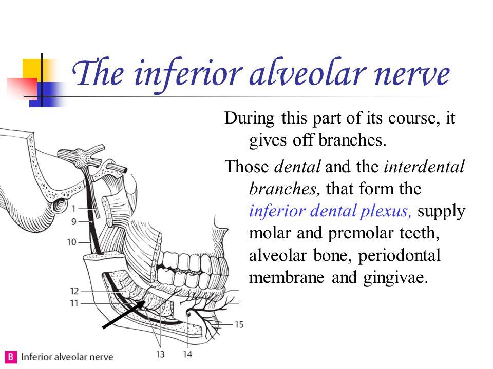 The inferior alveolar nerve