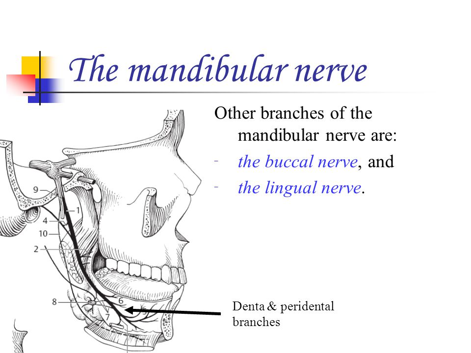 The mandibular nerve Other branches of the mandibular nerve are:
