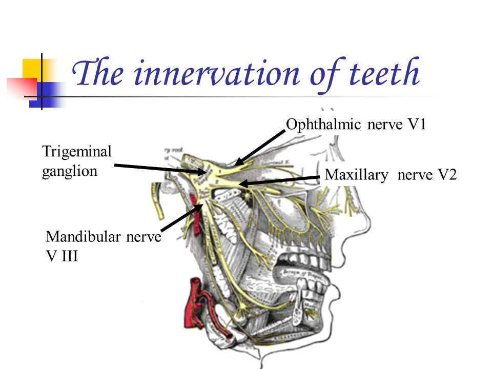 The innervation of teeth