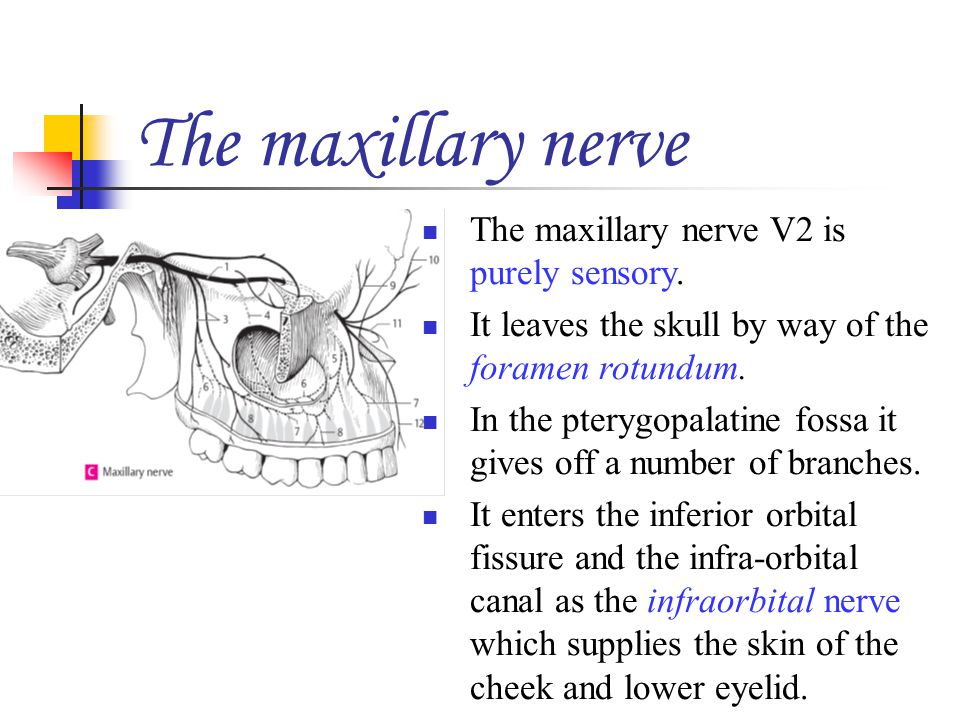 The maxillary nerve The maxillary nerve V2 is purely sensory.