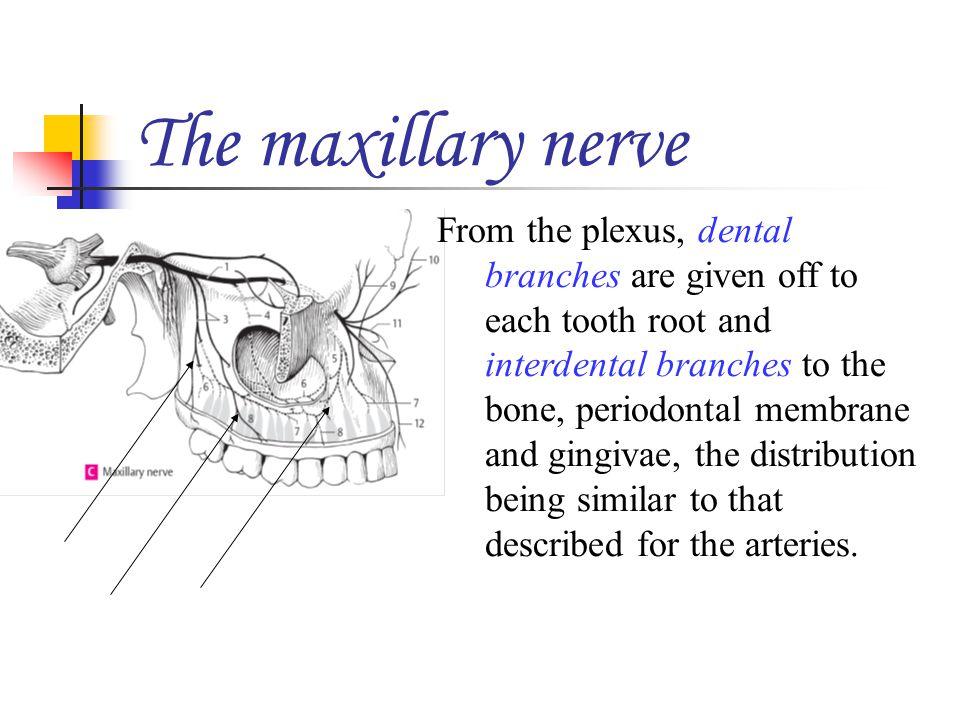 The maxillary nerve