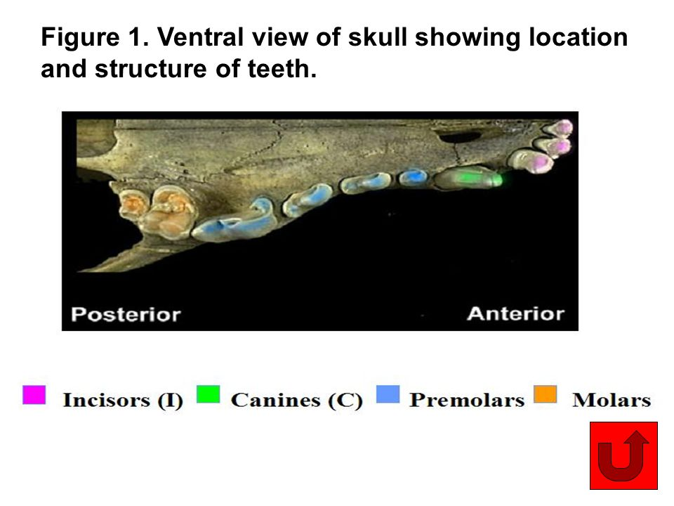 Figure 1. Ventral view of skull showing location and structure of teeth.