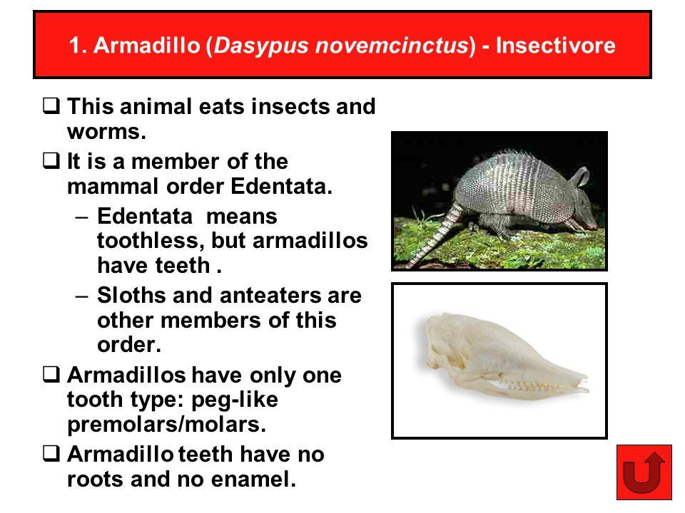 1. Armadillo (Dasypus novemcinctus) - Insectivore