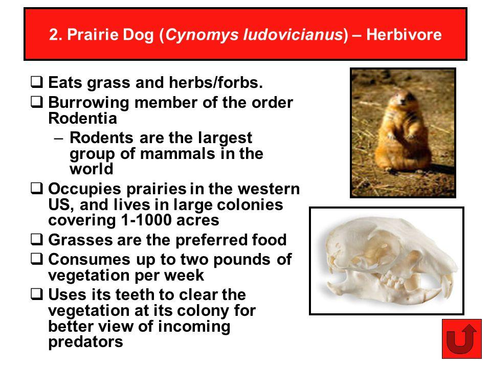 2. Prairie Dog (Cynomys ludovicianus) – Herbivore