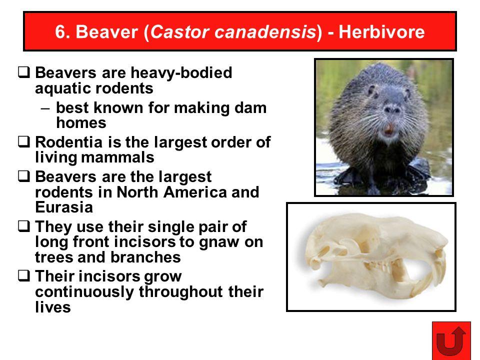 6. Beaver (Castor canadensis) - Herbivore