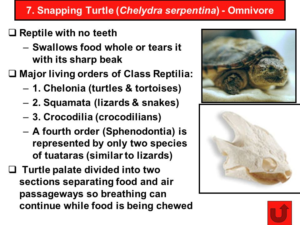 7. Snapping Turtle (Chelydra serpentina) - Omnivore