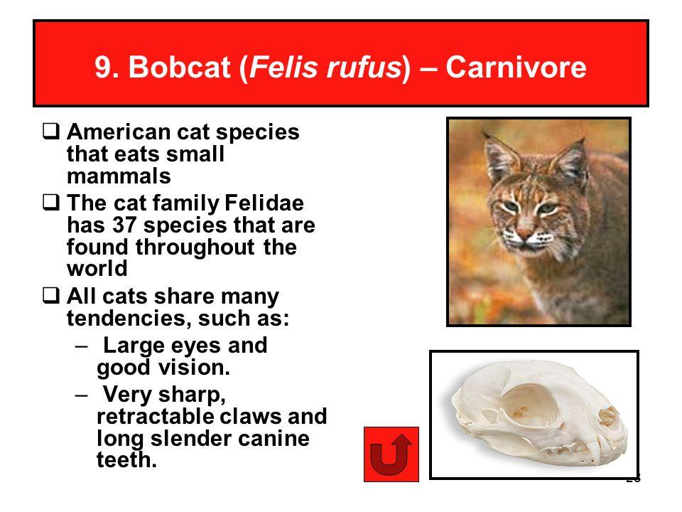 9. Bobcat (Felis rufus) – Carnivore