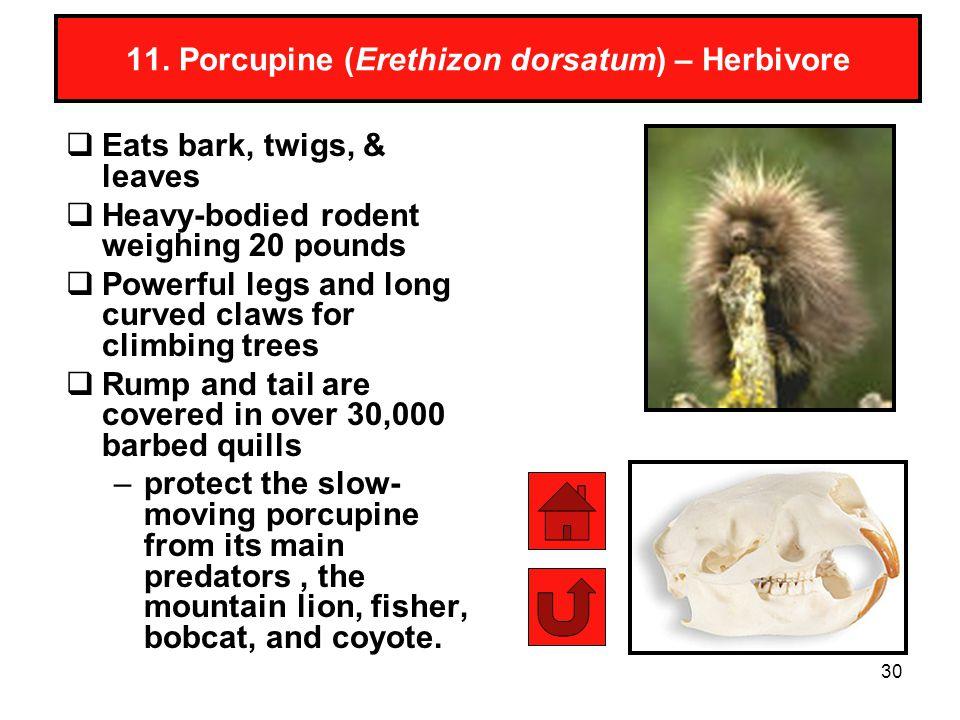 11. Porcupine (Erethizon dorsatum) – Herbivore