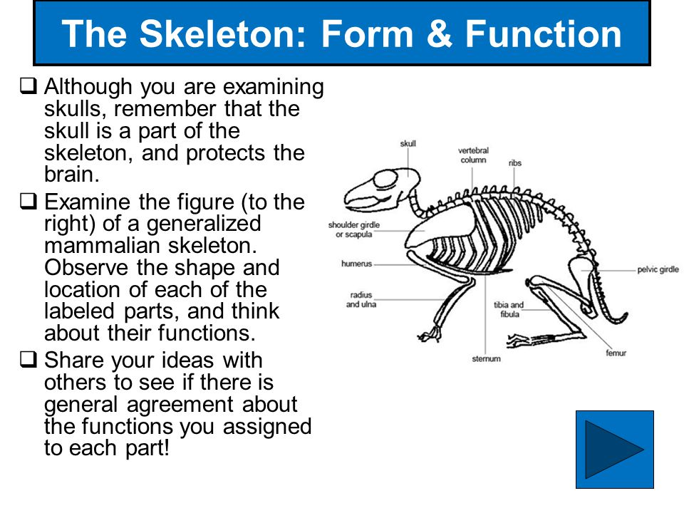 The Skeleton: Form & Function