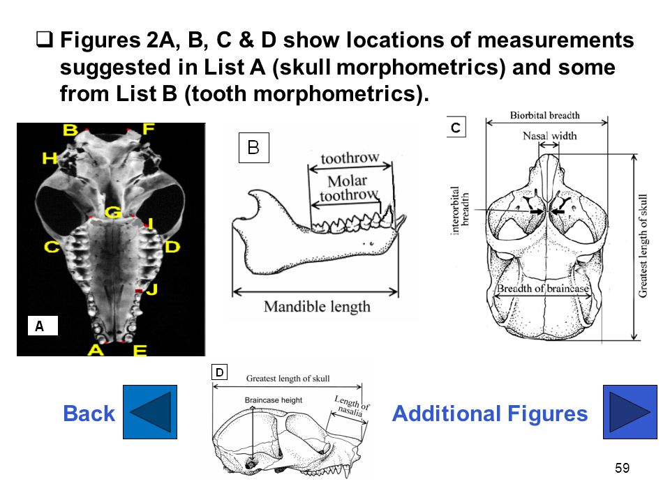 Figures 2A, B, C & D show locations of measurements suggested in List A (skull morphometrics) and some from List B (tooth morphometrics).