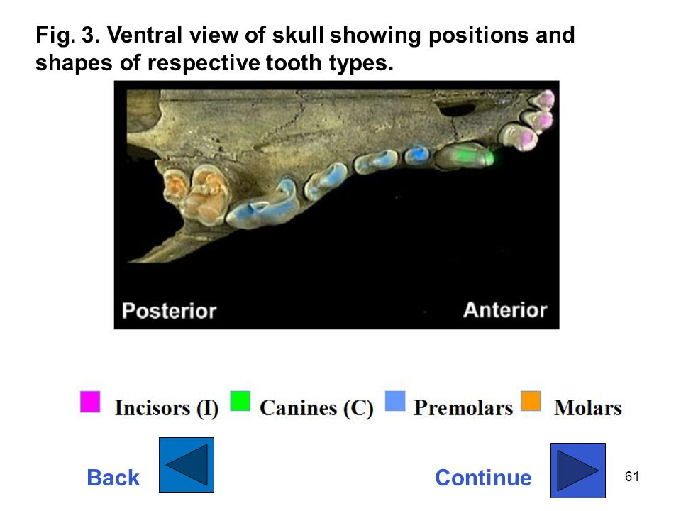 Fig. 3. Ventral view of skull showing positions and shapes of respective tooth types.