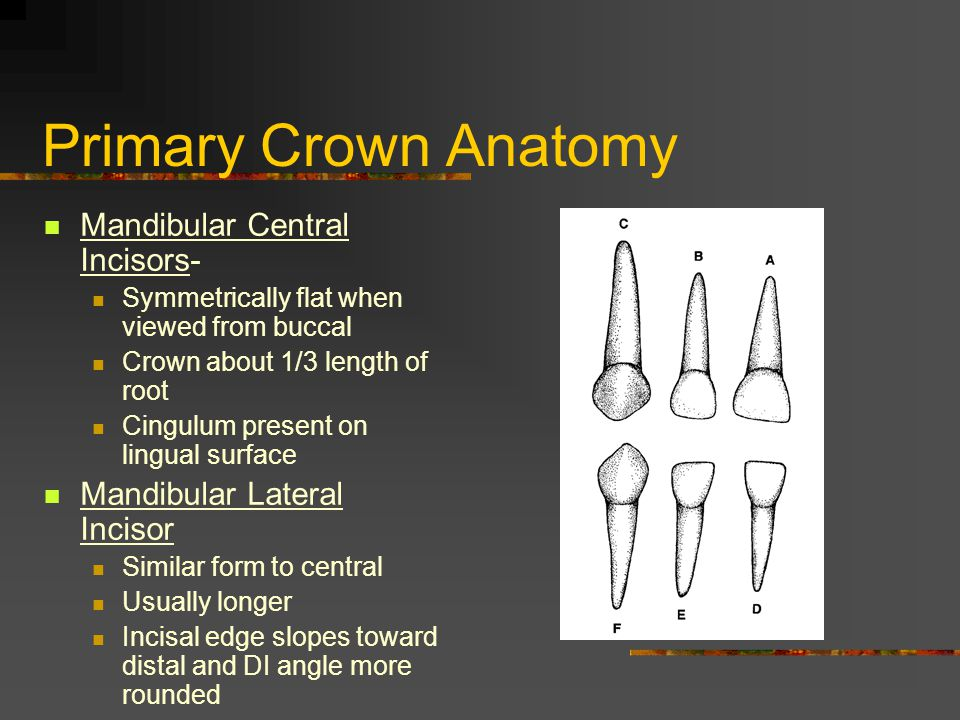 Primary Crown Anatomy Mandibular Central Incisors-